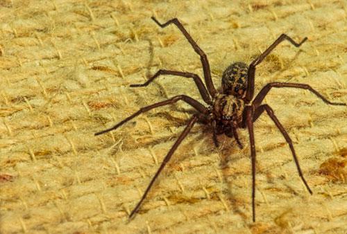 Black Widow Spider Vancouver Island