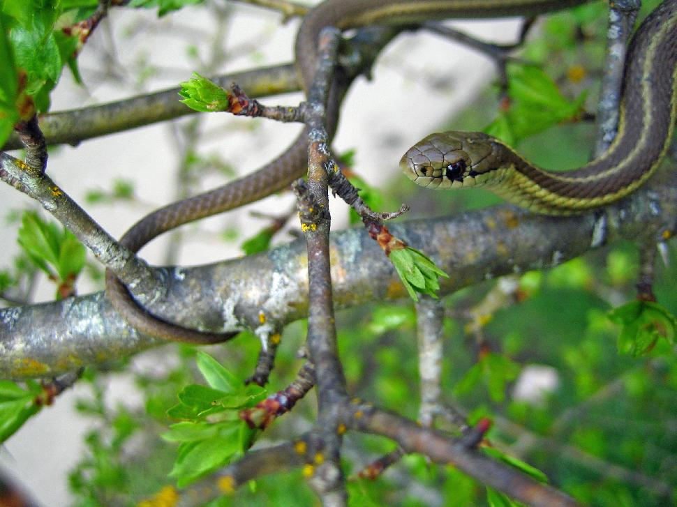 Snakes you may Encounter in British Columbia - British Columbia Magazine