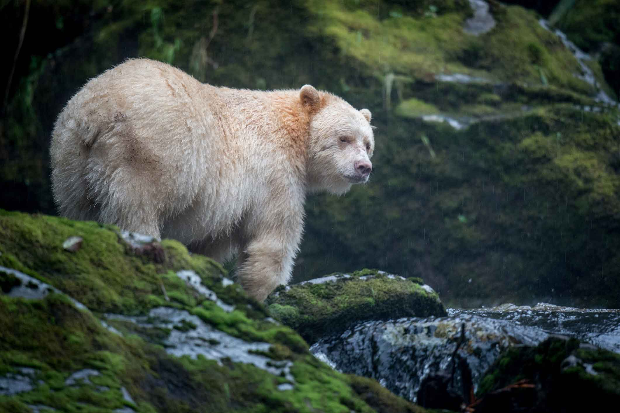 great bear rain forest Andy maser is currently in british columbia's great bear rainforest shooting a  feature film for imax screens the team will be working on and off for the next  year.